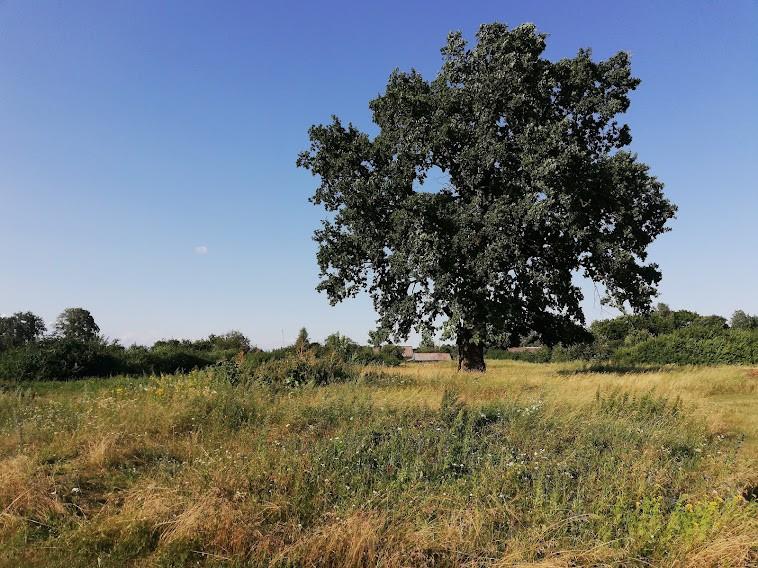 Дуб на окраине деревни